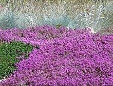 PLAT FIRM Blumensamen - 100 Samen er von Thymian