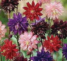 PLAT FIRM: Blumensamen Europ Akelei (Aquilegia) Mix