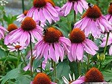 PLAT FIRM Blumensamen: Purpurea Echinacea Samen 40