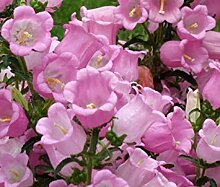 PLAT FIRM Cantery Glocke Rosa Campanula Medium -