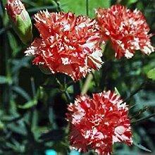 PLAT FIRM Carnation Avranchin 50 Samen Garten