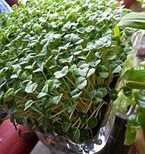 PLAT FIRM Chia Hianica Eay wachsen 1000 Samen