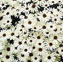 PLAT FIRM chycome Weiß 200 Samen Garten