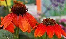 PLAT FIRM Echinacea omrero erie orange CONEFLOWER