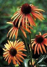 PLAT FIRM Echinacea orange Meadow CONEFLOWER Samen!