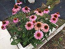 PLAT FIRM Echinacea purpurea, Echinacea,
