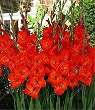 PLAT FIRM Echte Gladiole Samt, Gladiole Blume