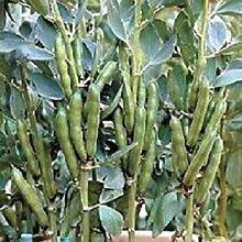 PLAT FIRM Fava Bean 10 Samen Garten Samen