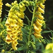 PLAT FIRM Fingerhut Temple Glocke Yellow