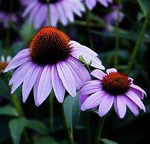 PLAT FIRM Futaba Sonnenhut Echinacea Purpurea