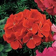 PLAT FIRM Geranium carlet 10 Samen Garten