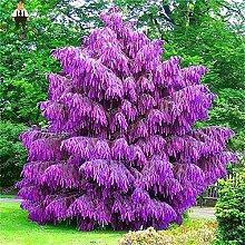 PLAT FIRM GERMINATIONSAMEN: 100PCS Lila Pinus