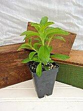 PLAT FIRM GERMINATIONSAMEN: 2 Pflanzen: Stevia,