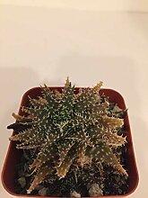 PLAT FIRM GERMINATIONSAMEN: Aloe Hybrid