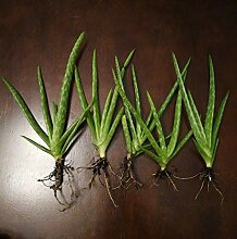 PLAT FIRM GERMINATIONSAMEN: Aloe-Vera-Pflanze (5