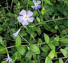 PLAT FIRM GERMINATIONSAMEN: ca Singiwle Purple