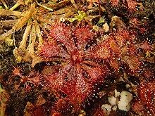 PLAT FIRM GERMINATIONSAMEN: Drosera brevifolia x