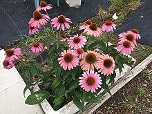 PLAT FIRM GERMINATIONSAMEN: Echinacea purpurea,