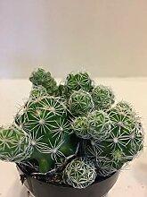 PLAT FIRM GERMINATIONSAMEN: Fingerhut Cactus -