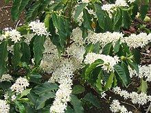PLAT FIRM GERMINATIONSAMEN: Kaffee Pflanzensamen -