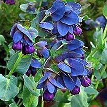PLAT FIRM Honeywort Cerinthe 10 Samen Garten