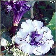 PLAT FIRM KEIM SEEDS: 30 Samen von Datura blau