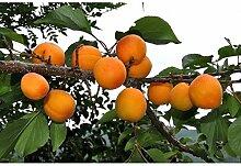 PLAT FIRM KEIM SEEDS: 5 Manchurian Aprikosenbaum