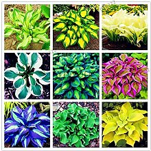 PLAT FIRM KEIM SEEDS: 9: 200pcs Hosta Fragrant