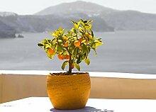 PLAT FIRM KEIM SEEDS: Bonsai Aprikosenbaum-Samen