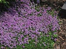 PLAT FIRM Kriechender Thymian-Rosa/Lavendel