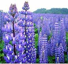 PLAT FIRM Lupin Blau 40 Samen Garten