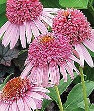 PLAT FIRM Meteor Rosa Sonnenhut Samen (Echinacea)