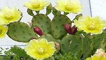 PLAT FIRM Opuntia humifua Feigenkaktus CACTU 5 seed