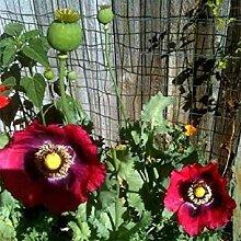 PLAT FIRM Pepperbox 200 Samen Garten