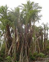 PLAT FIRM Phoenix paludoa Mangrove Dattelpalme