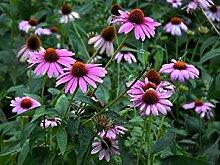 PLAT FIRM: Sonnenhut Echinacea Purpurea 250 Samen