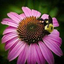 PLAT FIRM Sonnenhut lila Blumen-Samen (Echinacea