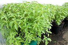 PLAT FIRM: Zitrone-Basilikum-Samen - großer
