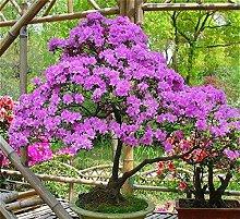 PlenTree 100 PC/bag Bonsai Azalee s Rhododendren s