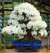 PlenTree 100pcs Azalee Bonsai-Baum Rhododendron