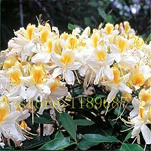 PlenTree 20 Stück Azalee Baum Azaleen für