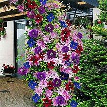 PlenTree 50pcs 24 gemischte Farben Kletterpflanzen