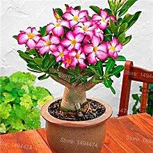 PlenTree Genuine Desert Rose Seeds Rare Adenium