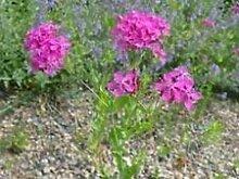 PlenTree Lychnis- Alpina- 50 Samen