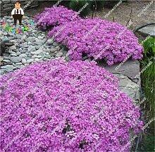 PlenTree Regenbogen Thymian s oder ROCK CRESS s -