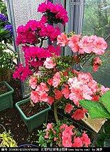 Plum: 100 teile/beutel bonsai azalee samen