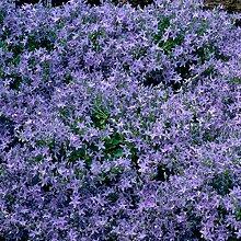 Polster-Glockenblume - Campanula poscharskyana - blau-violette Blüten, im 9 cm Topf - frisch aus der Gärtnerei - Pflanzen-Kölle Gartenstaude