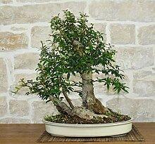 Pomegranate bonsai tree (34)