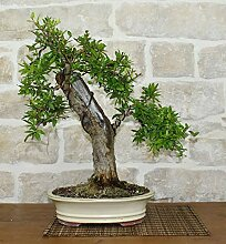 Pomegranate bonsai tree (35)