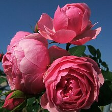 Pomponella® ADR Rose Beetrose